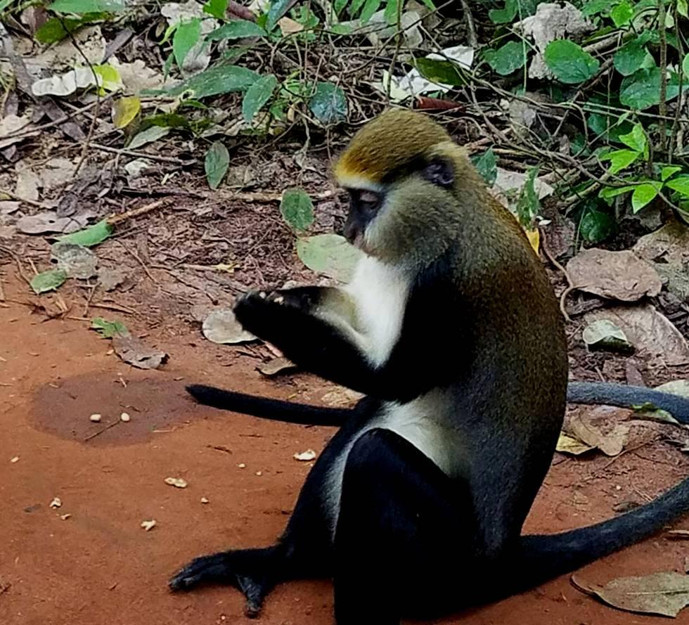 Boabeng Fiema monkey sanctuary