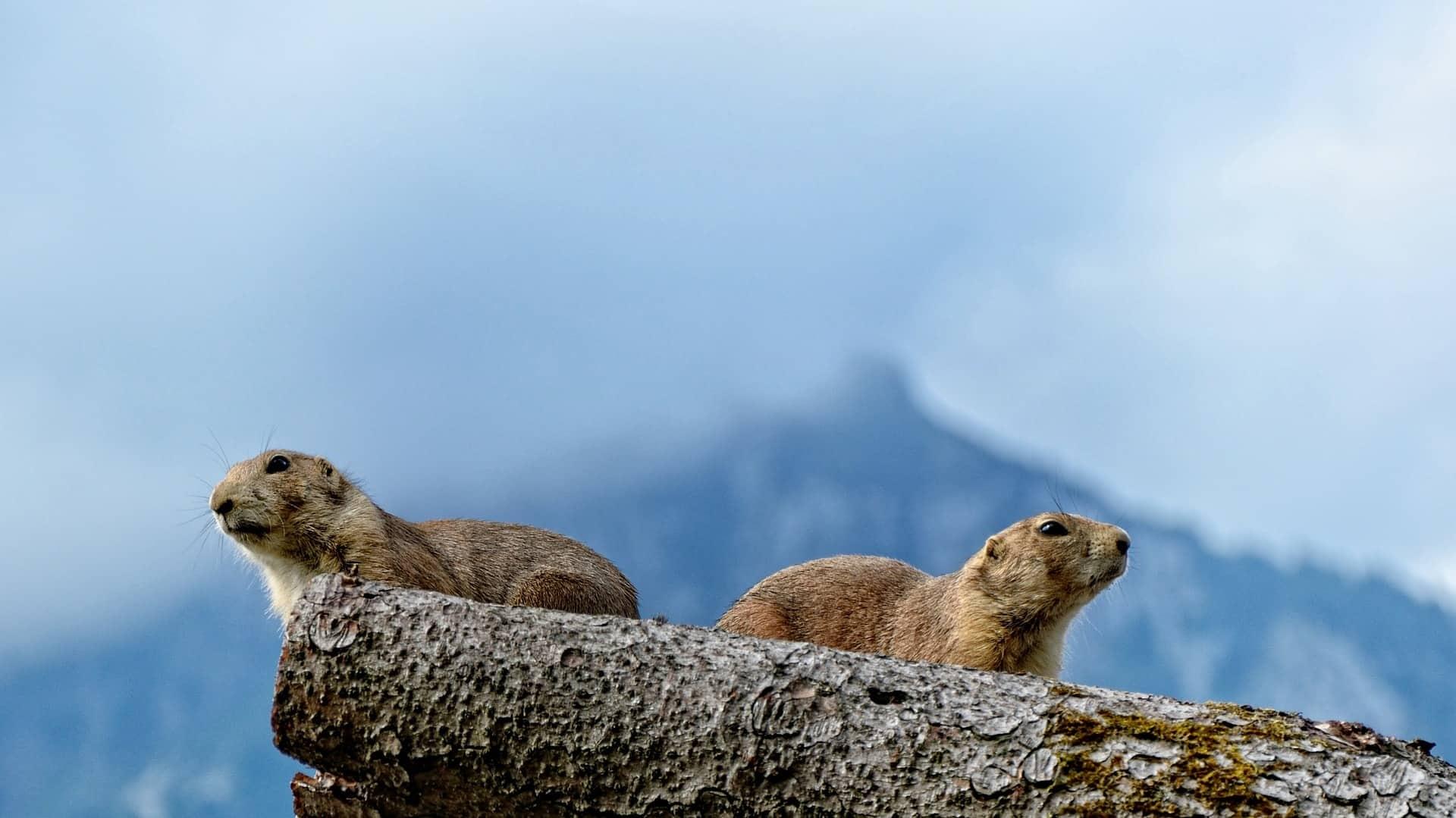 Marmots in Ladakh