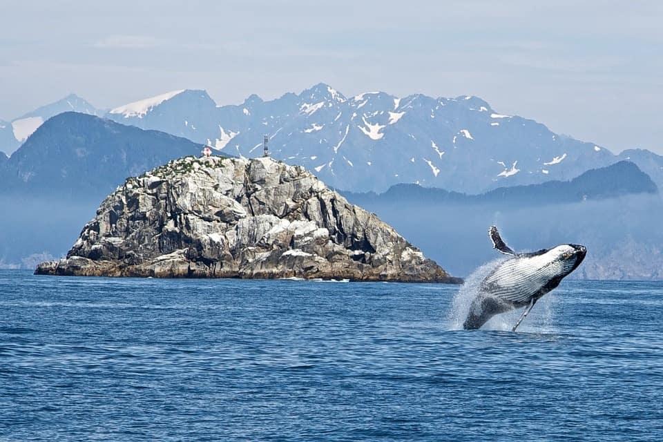 Humpback whale in North America