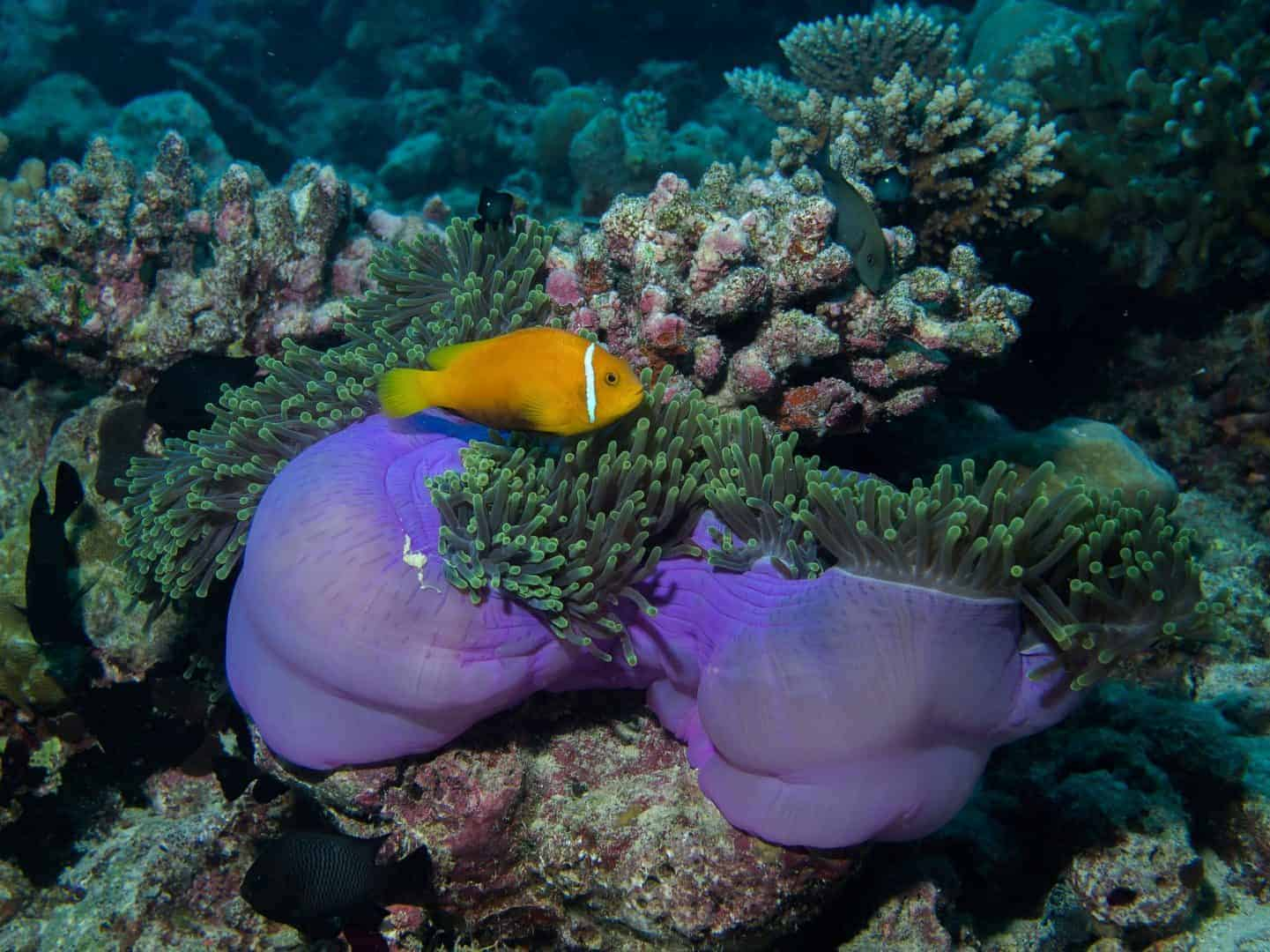 Clown Fish Andaman