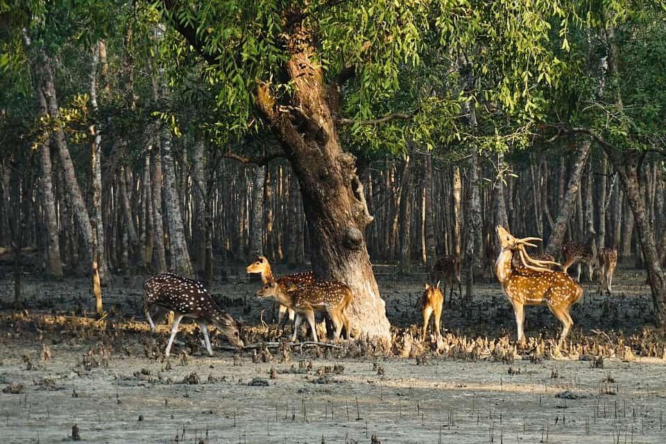 Deer Sundarbans