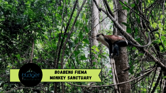 Boabeng Fiema Monkey Sanctuary Ghana: A Place where Apes are Considered Sacred